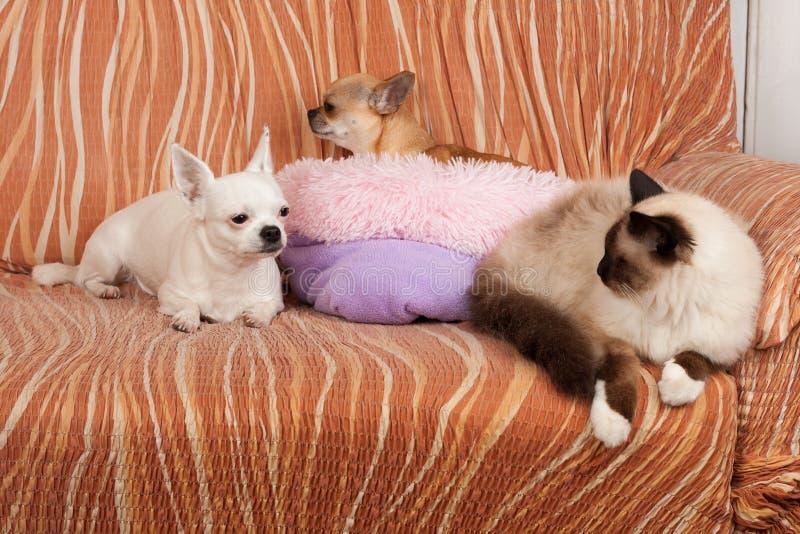 Dos perros de la chihuahua y un gato de Birman del punto del sello est?n mintiendo en el sof? imágenes de archivo libres de regalías