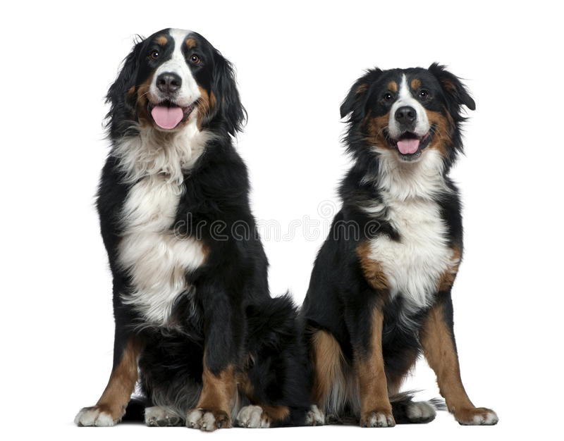 Dos perros de montaña de Bernese fotografía de archivo