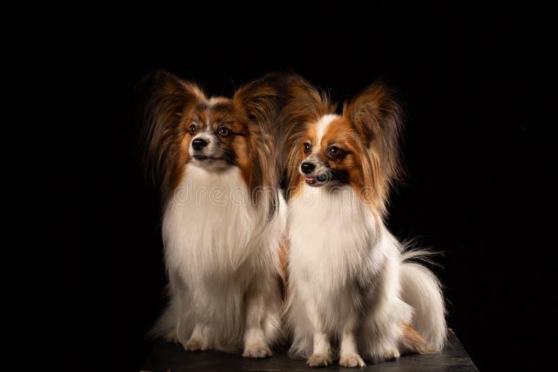 Dos perros de papillon de la casta en un fondo negro fotos de archivo libres de regalías