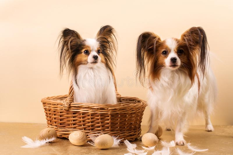 Dos perros de papillon de la raza imagen de archivo libre de regalías