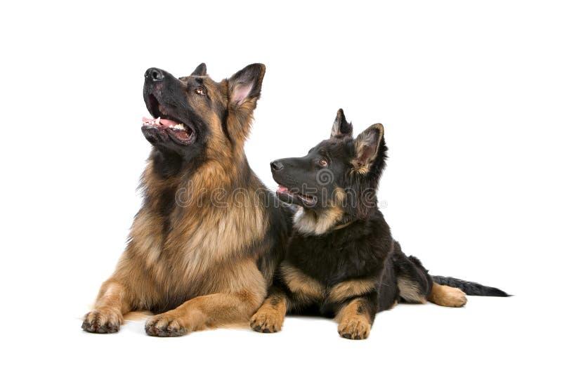 Dos perros de pastor alemán imágenes de archivo libres de regalías