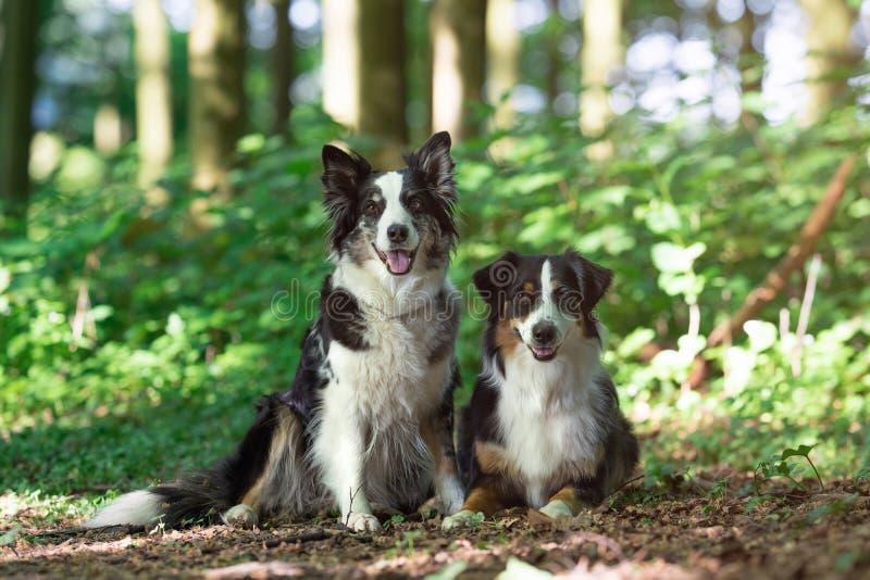 Dos perros de pastor australianos imagen de archivo