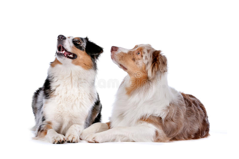 Dos perros de pastor australianos imagen de archivo libre de regalías