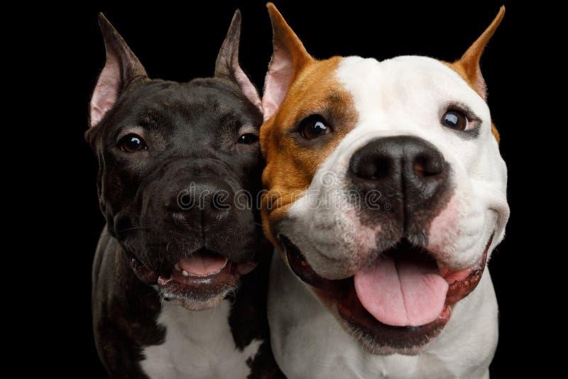 Dos perros de Staffordshire Terrier americano aislados en fondo negro fotografía de archivo libre de regalías
