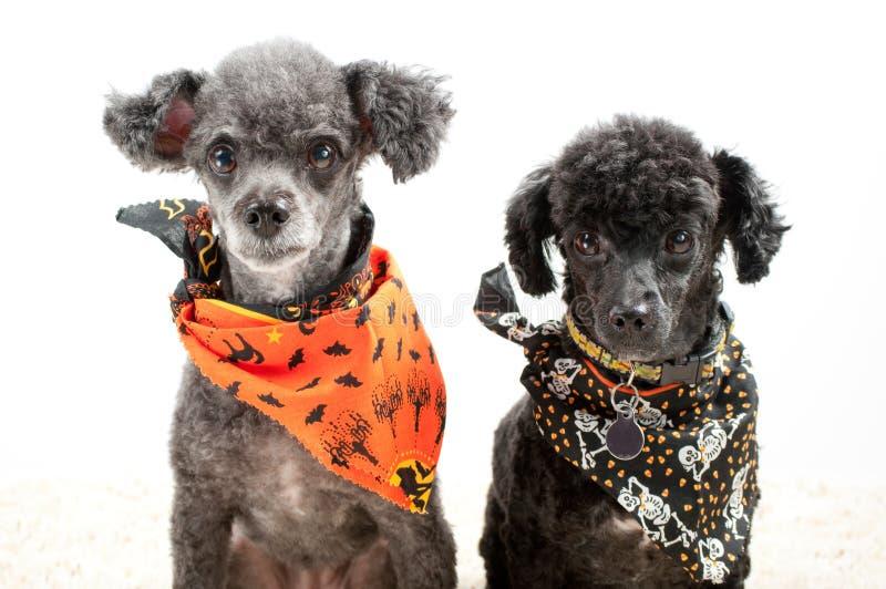 Dos perros de Víspera de Todos los Santos imágenes de archivo libres de regalías