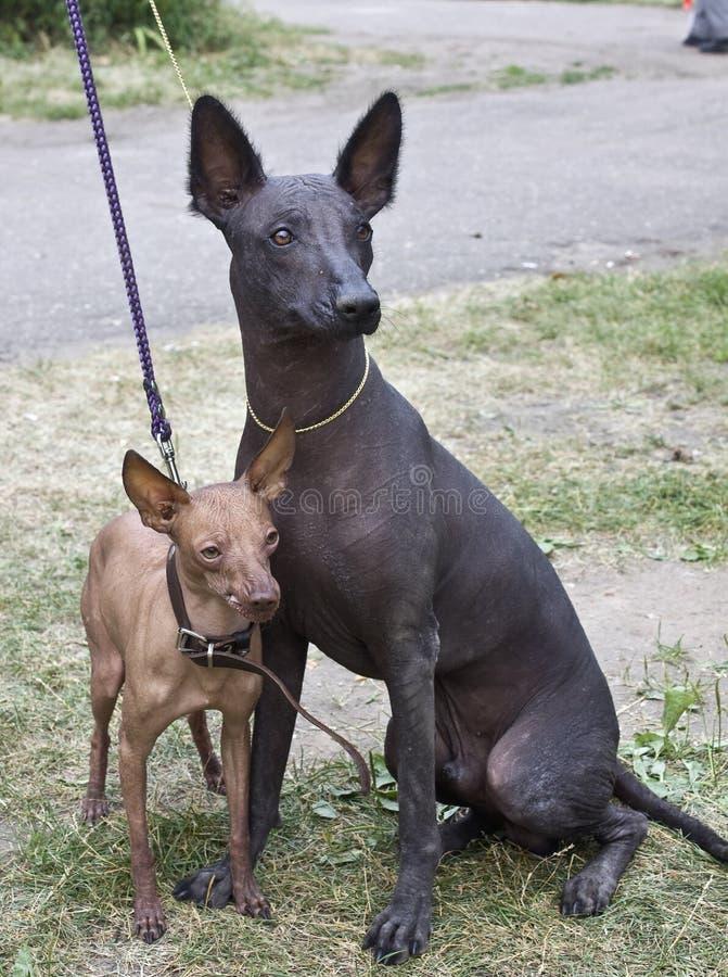 Dos perros de Xolo foto de archivo libre de regalías