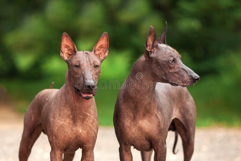 Dos perros de Xoloitzcuintli crían, los perros sin pelo mexicanos que se colocan al aire libre el día de verano imagen de archivo libre de regalías