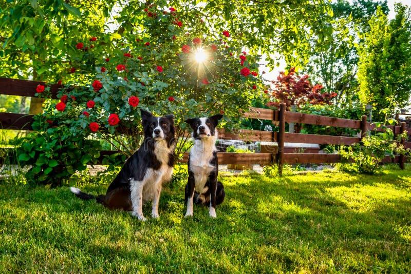 Dos perros del border collie en jardín de la iluminación de la puesta del sol imagenes de archivo