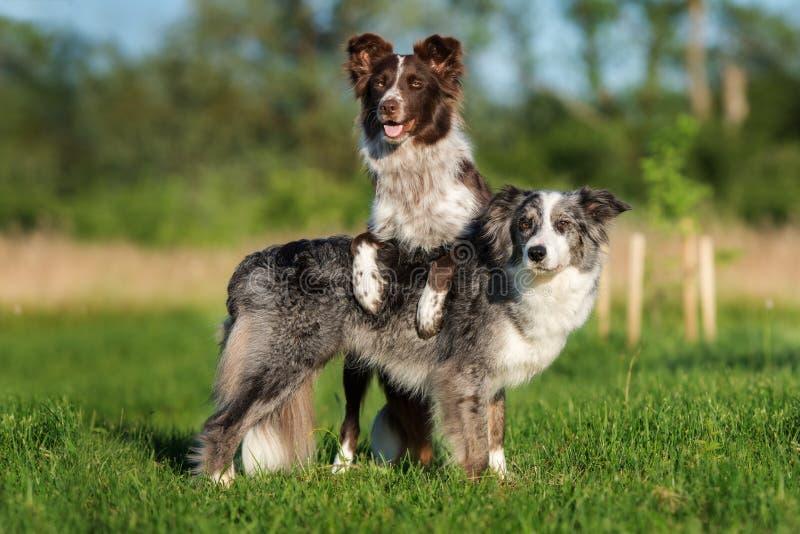 Dos perros del border collie que presentan junto fotos de archivo