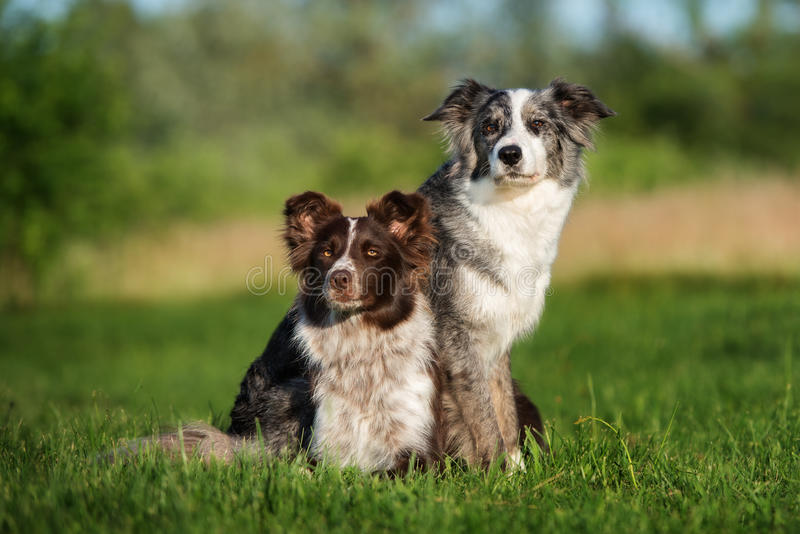 Dos perros del border collie que presentan junto foto de archivo