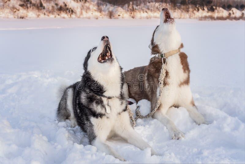 Dos perros del husky siberiano gritan aumentando sus bozales para arriba Grito en paisaje de la puesta del sol del invierno imagenes de archivo