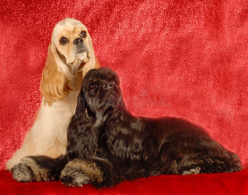 Dos perros del perro de aguas de cocker fotos de archivo