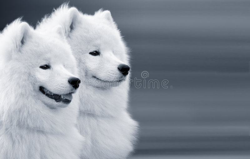 Dos perros del samoyedo fotos de archivo