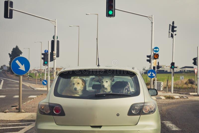Dos perros detrás de la ventanilla del coche posterior imagenes de archivo
