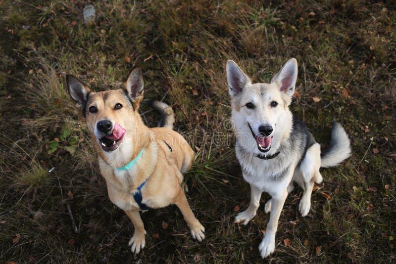 Dos perros en el perro mestizo fornido y rojo que se sienta en un prado verde que mira la cámara fotos de archivo