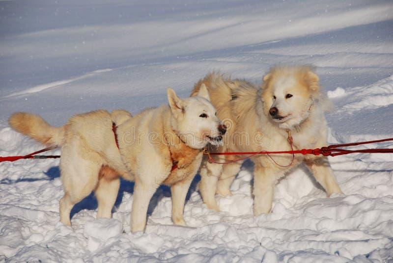 Dos perros esquimales siberianos imagen de archivo