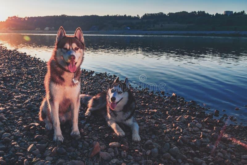Dos perros fornidos hermosos en la orilla del río de igualación Tarde caliente en un río reservado con los huskyes siberianos lin fotografía de archivo libre de regalías