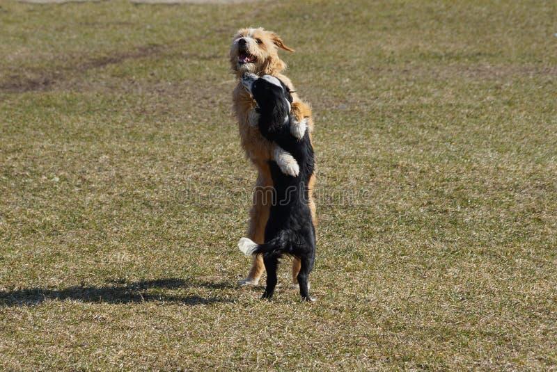 Dos perros juegan y abrazan en la hierba verde del césped fotografía de archivo