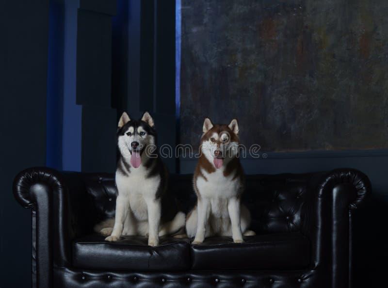 Dos perros lujosos en un sofá lujoso fotos de archivo