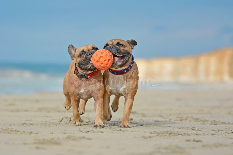 Dos perros marrones atléticos del dogo francés que juegan la bola del fetchwith en la playa con los cuellos de un perro marítimos imagenes de archivo