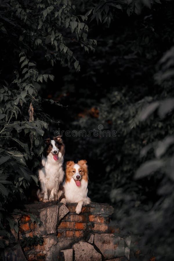 Dos perros negros y un border collie rojo se están sentando en un emplazamiento de la obra abandonado en el bosque foto de archivo libre de regalías