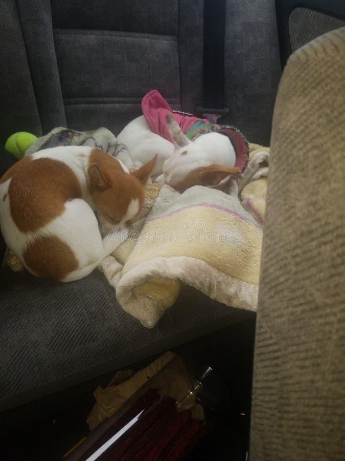 Dos perros so?olientos fotografía de archivo libre de regalías