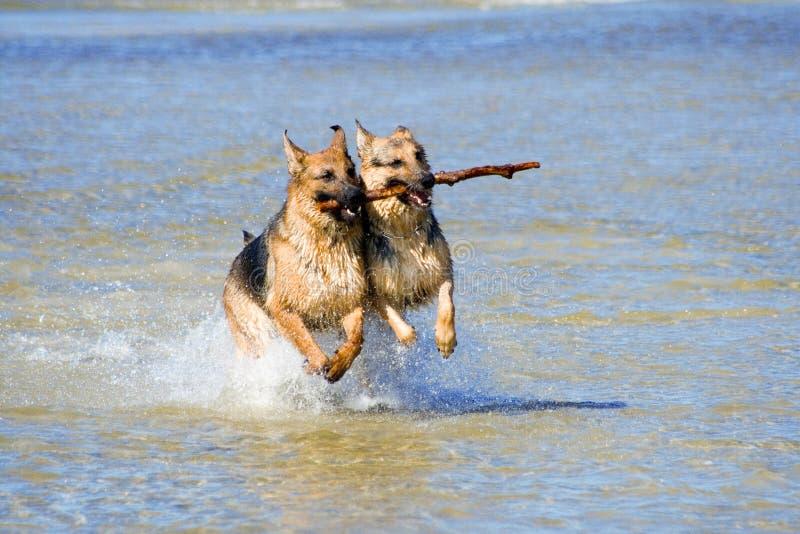 Dos perros pastor mojados de Alemania fotos de archivo