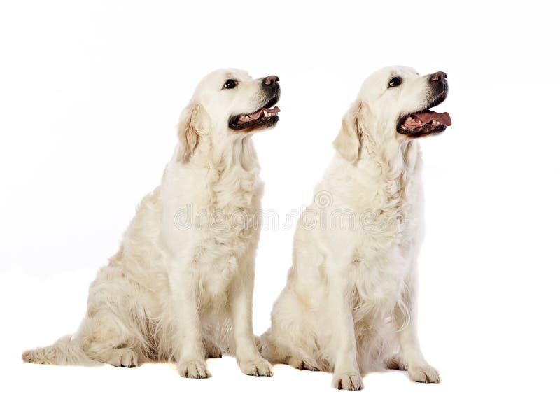 Dos perros perdigueros de oro imagen de archivo libre de regalías