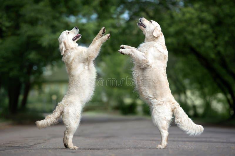 Dos perros que bailan en la calle imagen de archivo