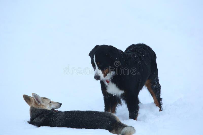 Dos perros que caminan en prado del invierno en nieve fotos de archivo