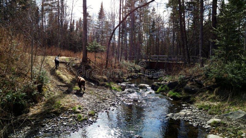 Dos perros que corren por The Creek imagen de archivo
