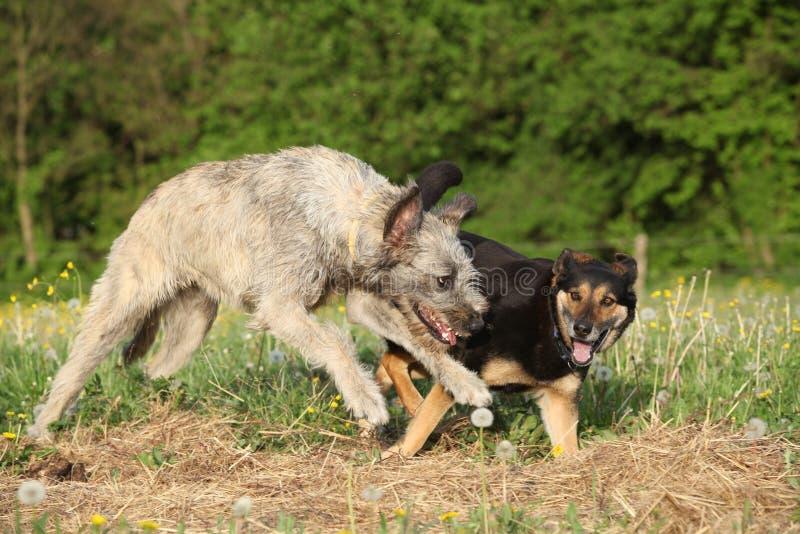 Dos perros que juegan con uno a y el funcionamiento fotos de archivo libres de regalías