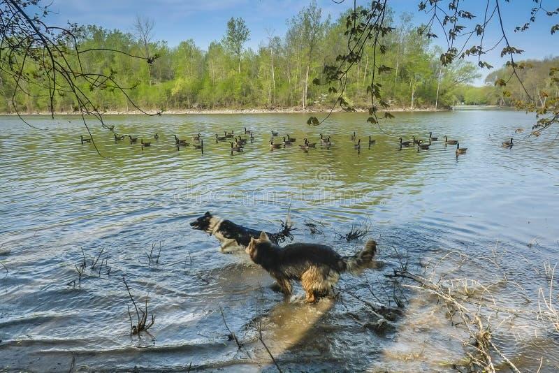 Dos perros que juegan en agua fotografía de archivo