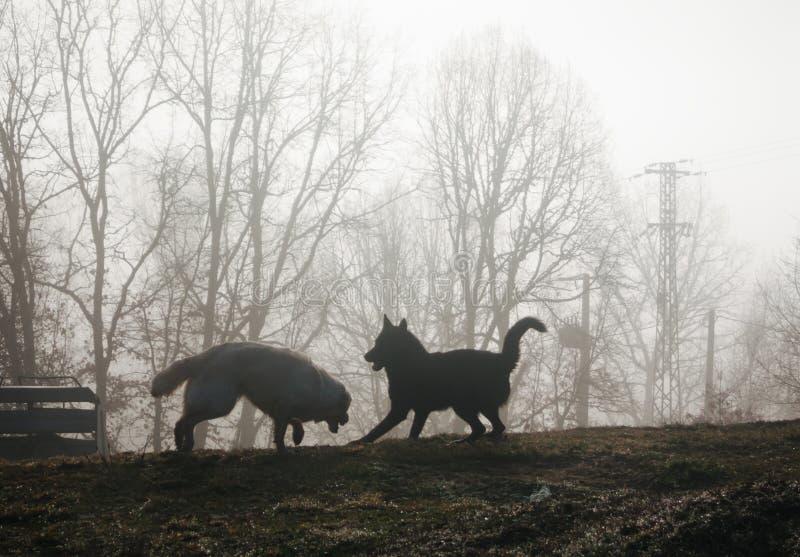 Dos perros que juegan en la niebla en la salida del sol imagen de archivo libre de regalías