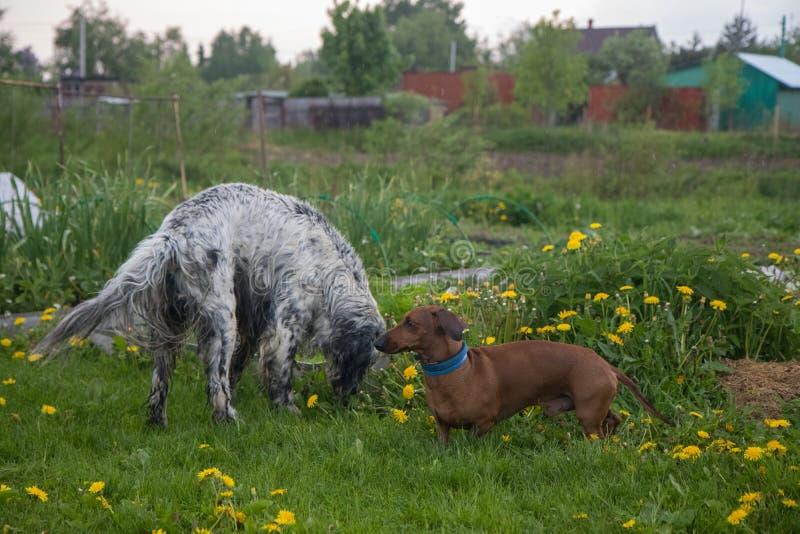 Dos perros que juegan organismo inglés y perro basset en el prado con las flores en el pueblo fotos de archivo