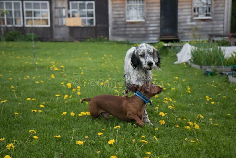 Dos perros que juegan organismo inglés y perro basset en el prado con las flores en el pueblo fotos de archivo libres de regalías