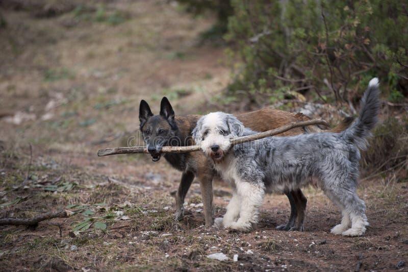 Dos perros que mantienen un palillo unido fotografía de archivo