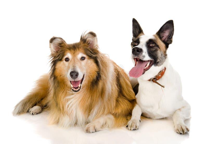 Dos perros que miran la cámara. imagenes de archivo