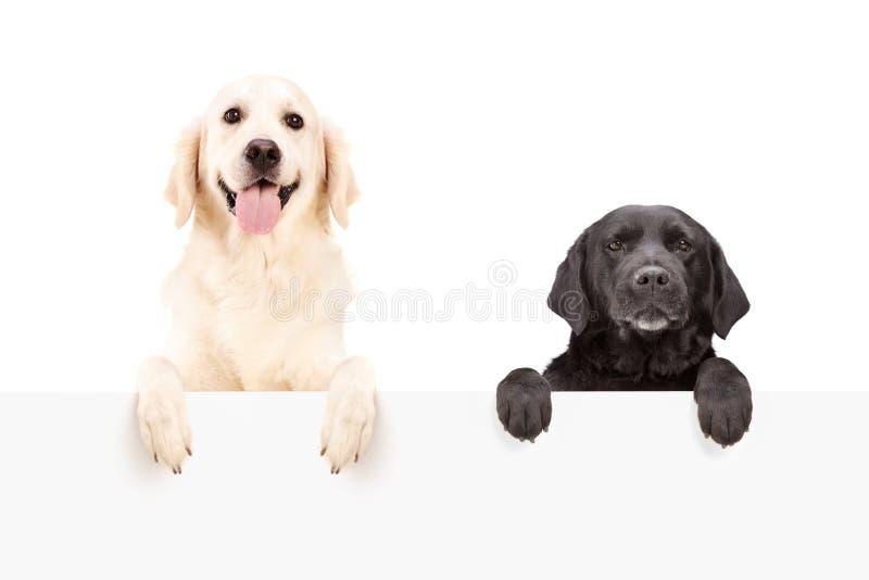 Dos perros que se colocan detrás del panel en blanco fotografía de archivo