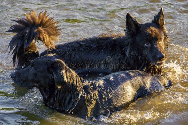 Dos perros que se divierten en un río imágenes de archivo libres de regalías