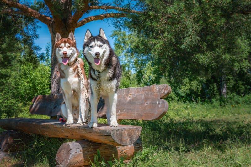 Dos perros se sientan en el banco Retrato de los perros del husky siberiano en un banco de madera en un parque soleado del verano fotos de archivo