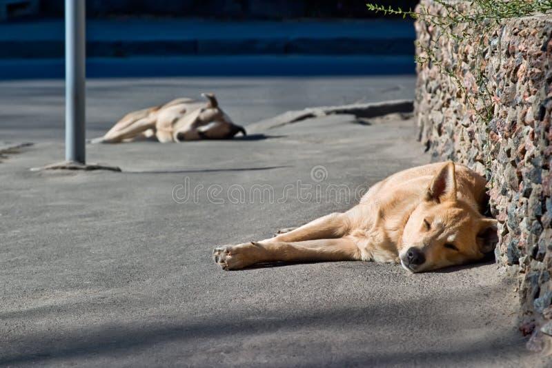 Dos perros sin hogar el dormir imagen de archivo