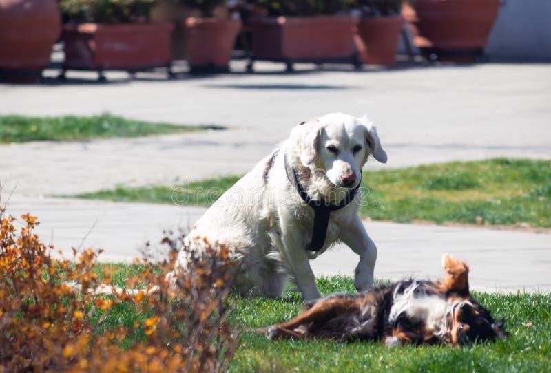 Dos perros, sirven a los mejores amigos, gozando de cada uno otros compa??a fotos de archivo