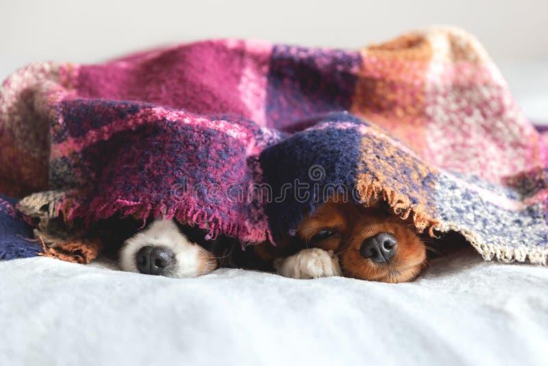 Dos perros sleepeing junto debajo de la manta fotografía de archivo libre de regalías