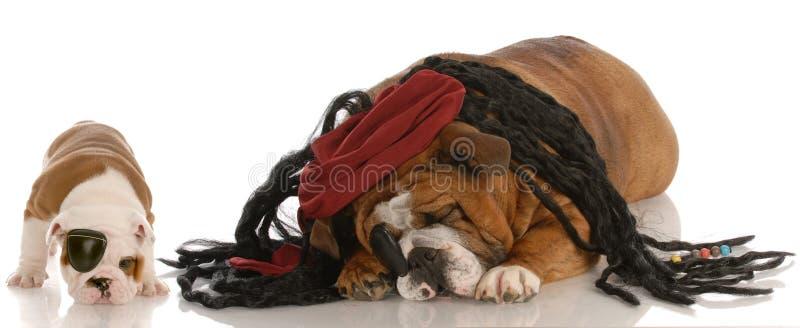 Dos perros vestidos encima como de piratas foto de archivo