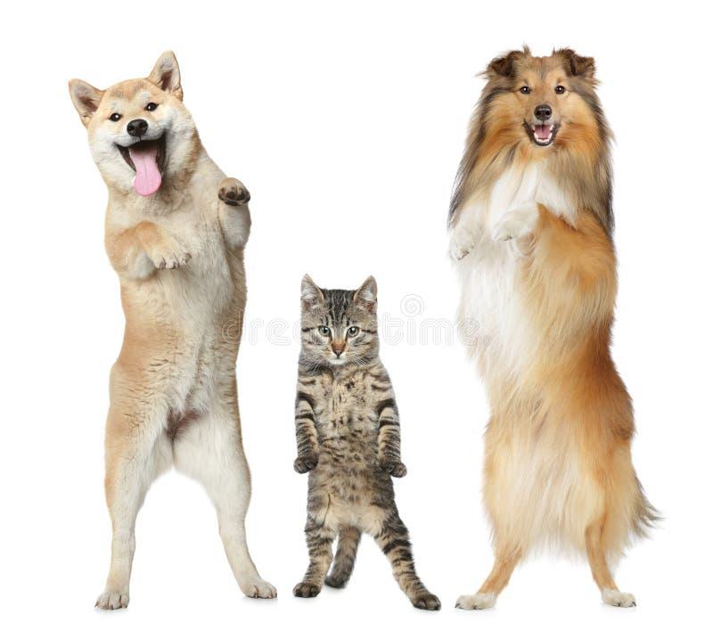 Dos perros y soportes del gato en las piernas traseras fotografía de archivo