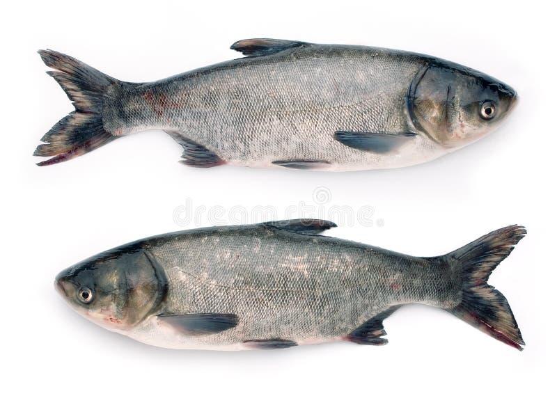 Dos pescados foto de archivo libre de regalías