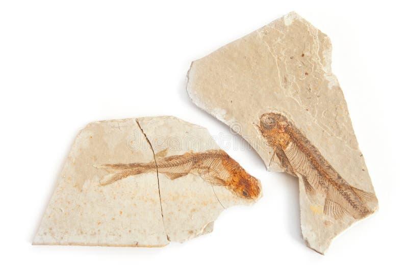 Dos pescados fósiles fotos de archivo libres de regalías