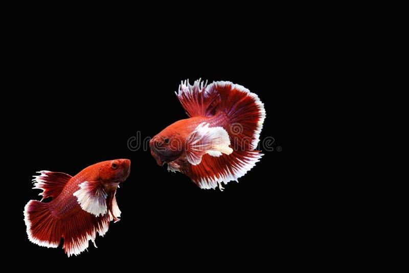 Dos pescados que luchan siameses rojos y blancos foto de archivo libre de regalías