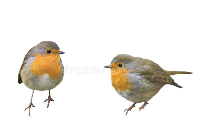 Dos petirrojos de los pájaros en diversas actitudes imagen de archivo